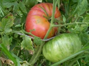 Çok İri oturak pembe domates