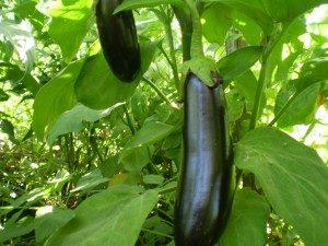 Aydın Karası Patlıcan- Beyaz içli Az Çekirdekli