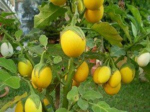 Süs-Yumurta Patlıcanı-Yenir Saksı veya Yerde