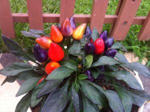Bodur Renkli Çiçek Biber