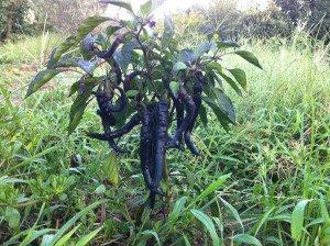 Tatlı Siyah Sivri Biber Anti Oksidan