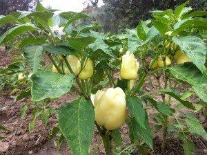 Sarı Dolma Biberi