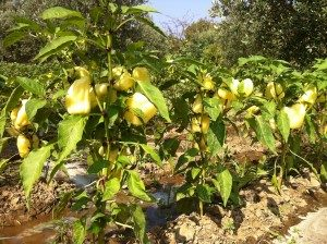 Sarı Dolma Biber