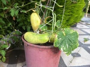 Tohumluk Bırakılmış Saksı Salatalığı