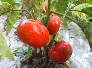 Kırmızı Top Patlıcan