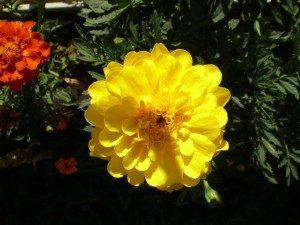 Sarı Kadife Ç,çeği