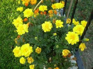 Sarı Kadife Çiçeği