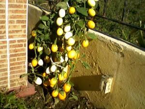 Süs Patlıcanı-Yenebilir Saksı Veya Yerde