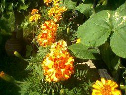 Bodur Alaca Kadife Çiçeği- Böcek Kaçırır ve Böcek İlacı Yapılır