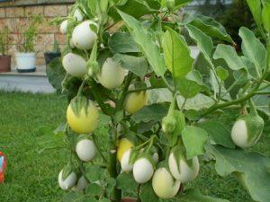 Süs- Yumurta Patlıcanı