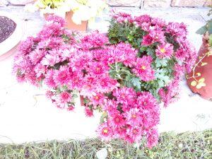Kasımpatı Çiçeği- Bodur