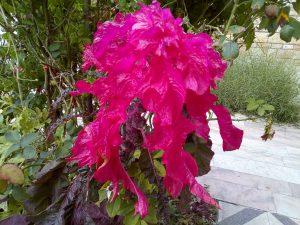 Yörük Gelini Çiçeği