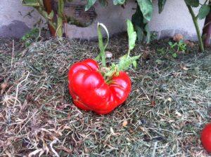İri Pembe sırık domates
